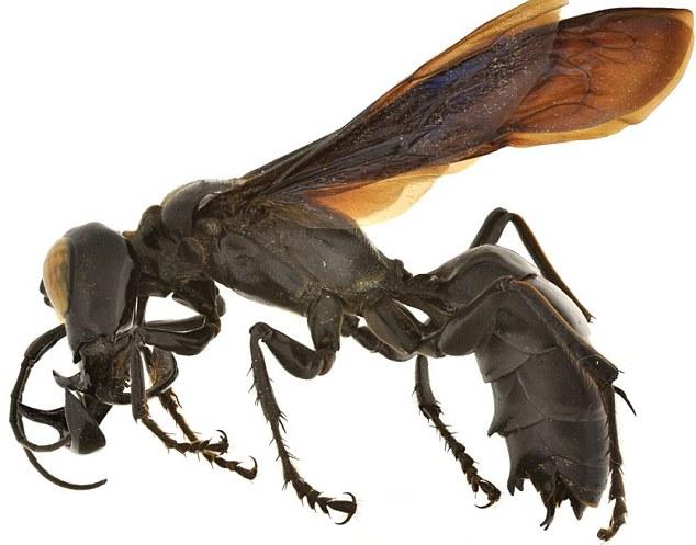 spesies raja lebah baru